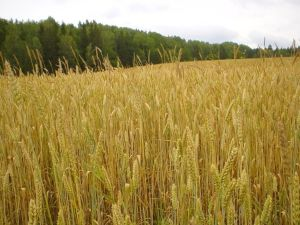 wheat_in_field